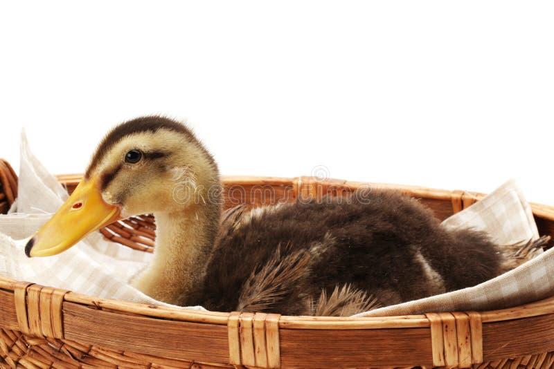 Or et bébé brun de canard photographie stock libre de droits