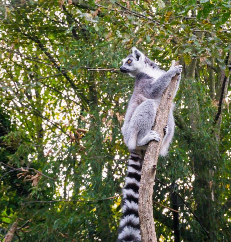Et mignon singe de lémur coupé la queue par anneau drôle s'élevant dans une branche d'arbre et accrochant sur le dessus regardant images stock