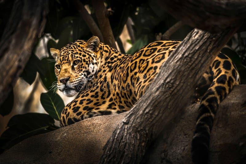 Et un léopard dans un arbre donnant sur les abords photographie stock libre de droits