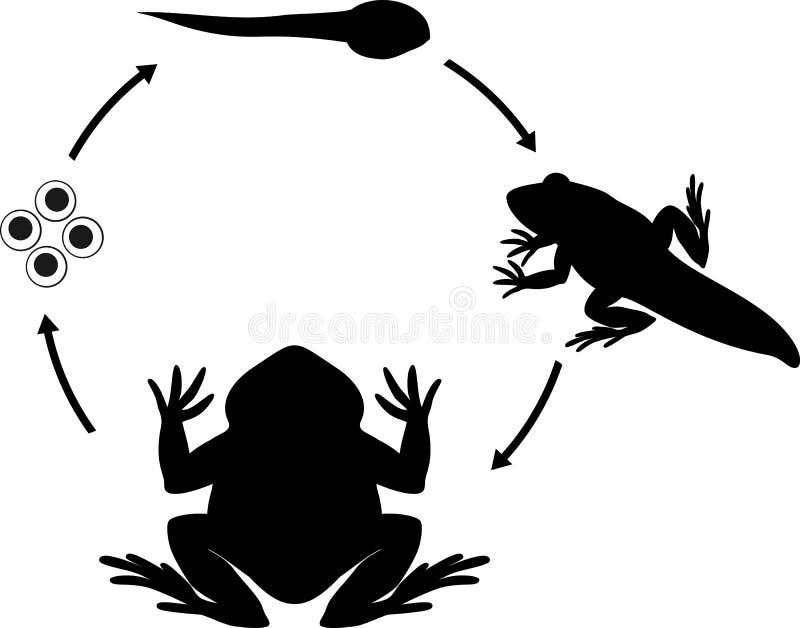Etap życia żaba Sceny rozwój żaba od jajka dorosły zwierzę ilustracja wektor