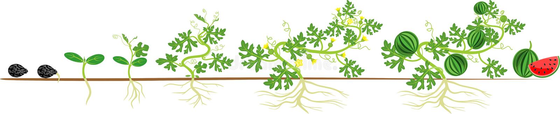 Etap życia arbuz roślina ilustracja wektor