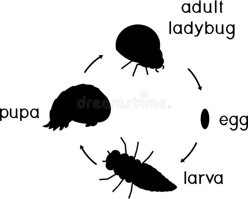 Etap życia biedronka Sceny rozwój biedronka od jajka dorosły insekt ilustracja wektor