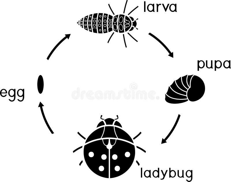 Etap życia biedronka Sceny rozwój biedronka od jajka dorosły insekt royalty ilustracja