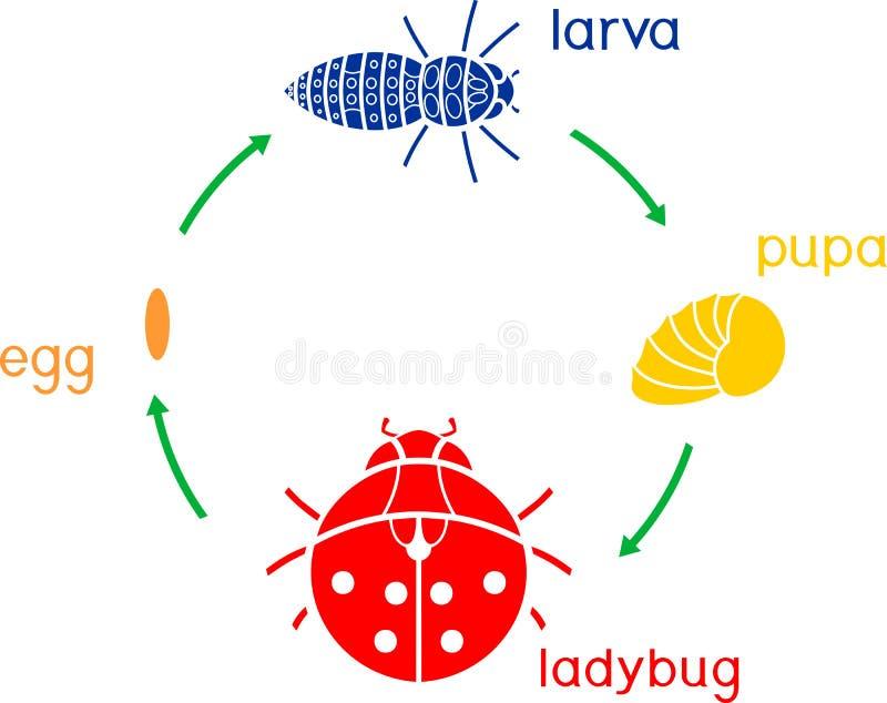 Etap życia biedronka Sceny rozwój biedronka od jajka dorosły insekt ilustracji