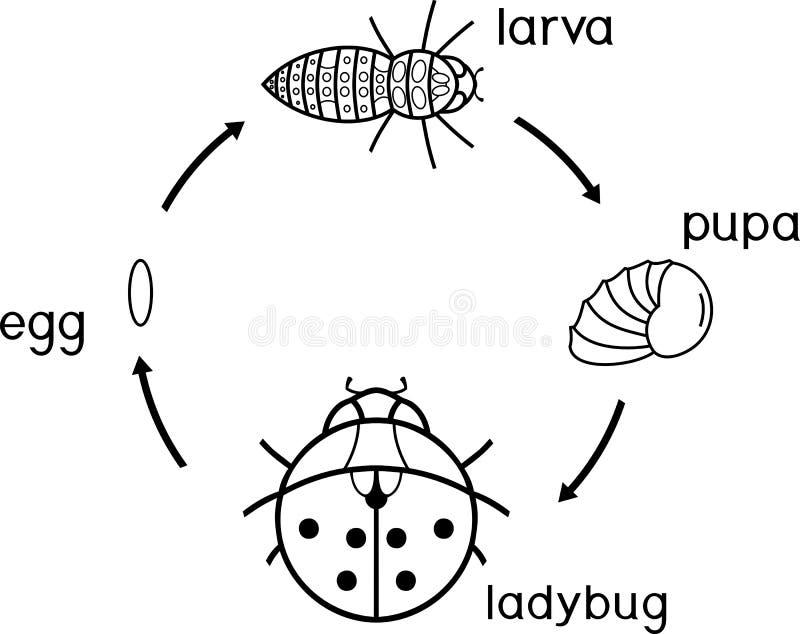 Etap życia biedronki kolorystyki strona Sceny rozwój biedronka od jajka dorosły insekt ilustracji
