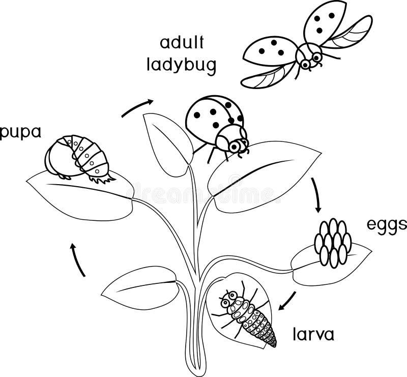 Etap życia biedronki kolorystyki strona Sceny rozwój biedronka od jajka dorosły insekt royalty ilustracja