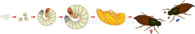 Etap życia chrząszcz Sekwencja sceny rozwój chrząszcza Melolontha melolontha od jajka dorosła ściga ilustracja wektor