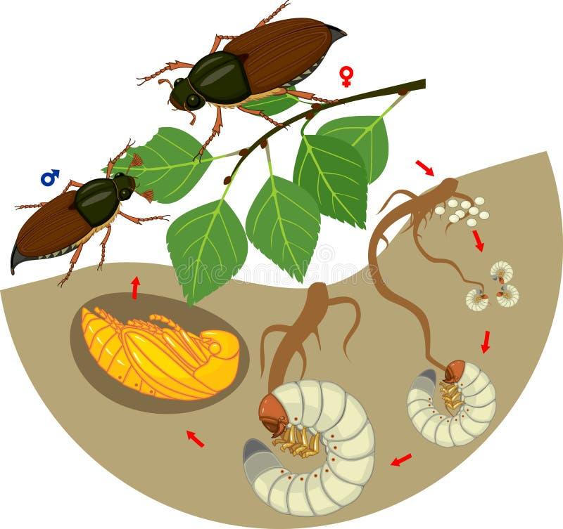 Etap życia chrząszcz Sekwencja sceny rozwój chrząszcza Melolontha sp od jajka dorosła ściga royalty ilustracja