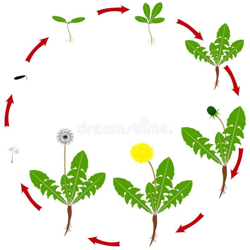 Etap życia dandelion roślina odizolowywa na białym tle ilustracji