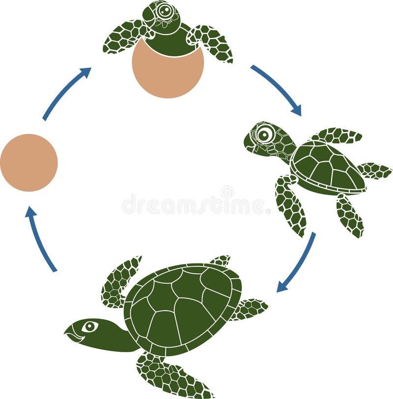 Etap życia denny żółw Sekwencja sceny rozwój żółw od jajka dorosły zwierzę ilustracja wektor