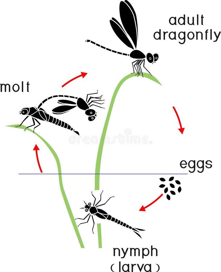 Etap życia dragonfly Sekwencja sceny rozwój dragonfly od jajka dorosły insekt ilustracja wektor