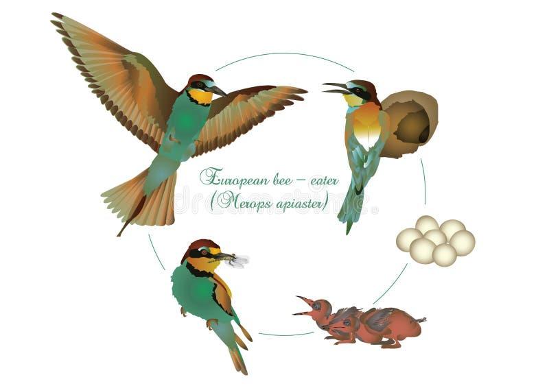 Etap życia Europejski zjadacz ilustracja wektor