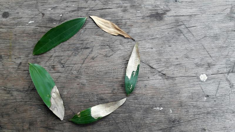 Etap życia jeżeli akacjowy liść przeciw nieociosanemu drewnianemu tłu obrazy royalty free