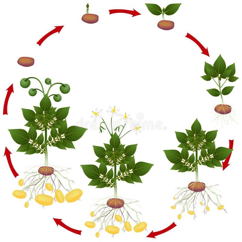 Etap życia kartoflana roślina na białym tle royalty ilustracja