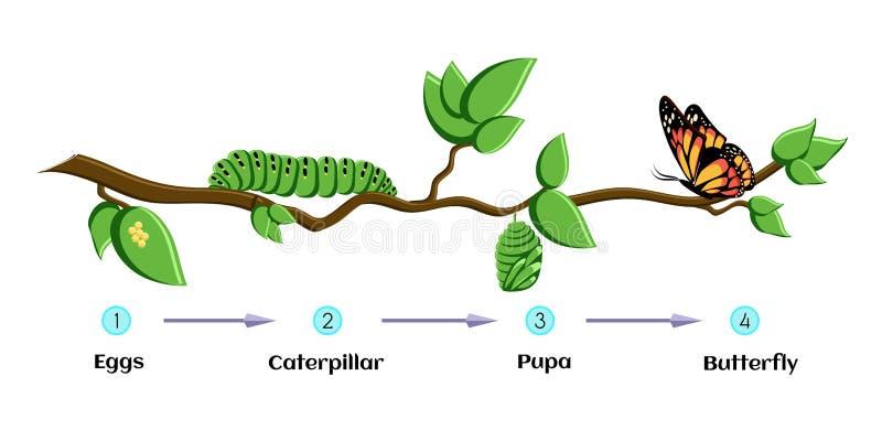 Etap życia motyli jajka, gąsienica, pupa, motyl metamorfizacja ilustracja wektor