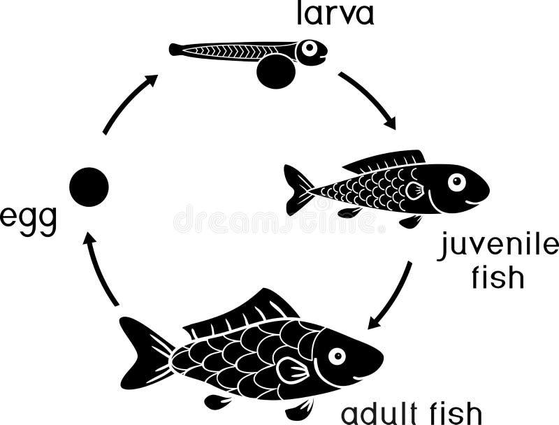 Etap życia ryba Sekwencja sceny rozwój ryba od jajecznych roe dorosły zwierzę royalty ilustracja