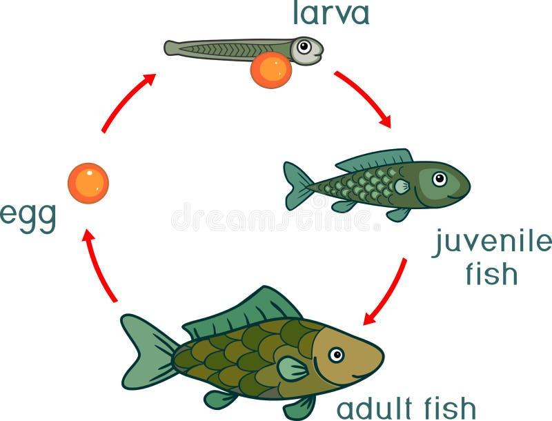 Etap życia ryba Sekwencja sceny rozwój ryba od jajecznych roe dorosły zwierzę ilustracja wektor