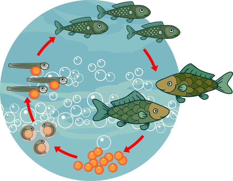 Etap życia ryba Sekwencja sceny rozwój ryba od jajka dorosły zwierzę ilustracji