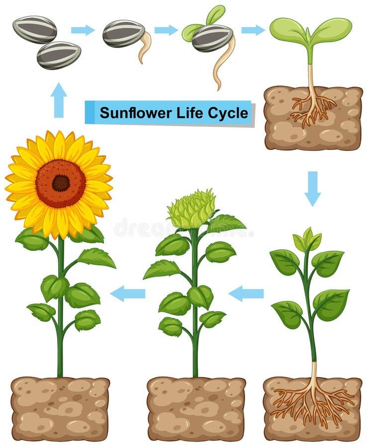 Etap życia słonecznikowa roślina royalty ilustracja