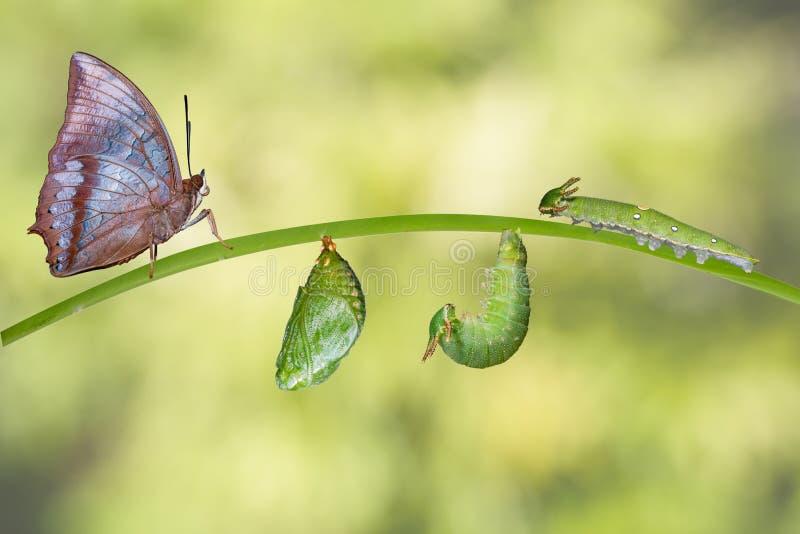 Etap życia Tawny Rajah motyl zdjęcie royalty free