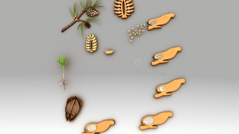 Etap Życia Conifer ilustracja wektor