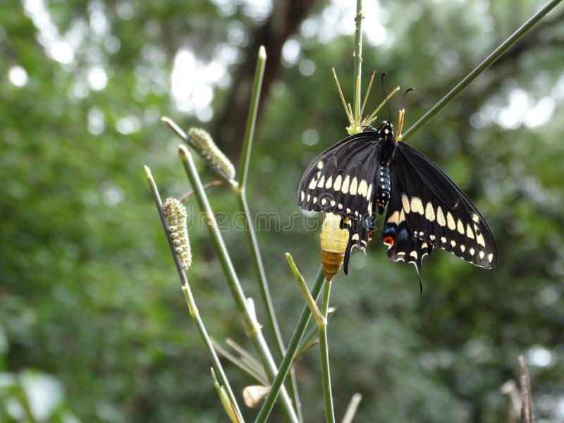 Etap Życia Czarny Swallowtail motyl fotografia royalty free