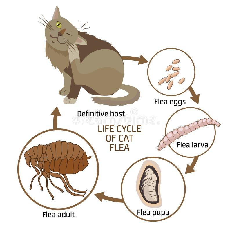 Etap Życia kot pchły wektoru ilustracja Rozszerzanie się infekcja, choroby royalty ilustracja