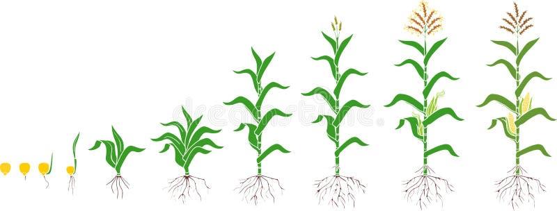 Etap ?ycia kukurydzana kukurydzy ro?lina E ilustracja wektor