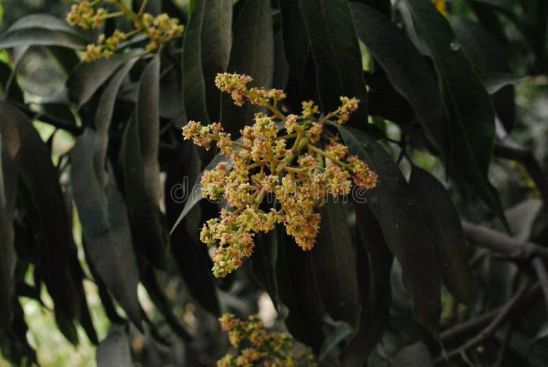 Etapa de florecimiento de la inflorescencia del mango imágenes de archivo libres de regalías