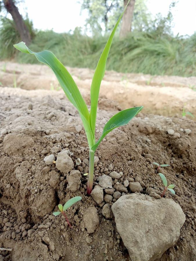 Etapa del crecimiento de la planta del maíz y x28; Almácigo al stage& x29 de Emergance; imagen de archivo libre de regalías