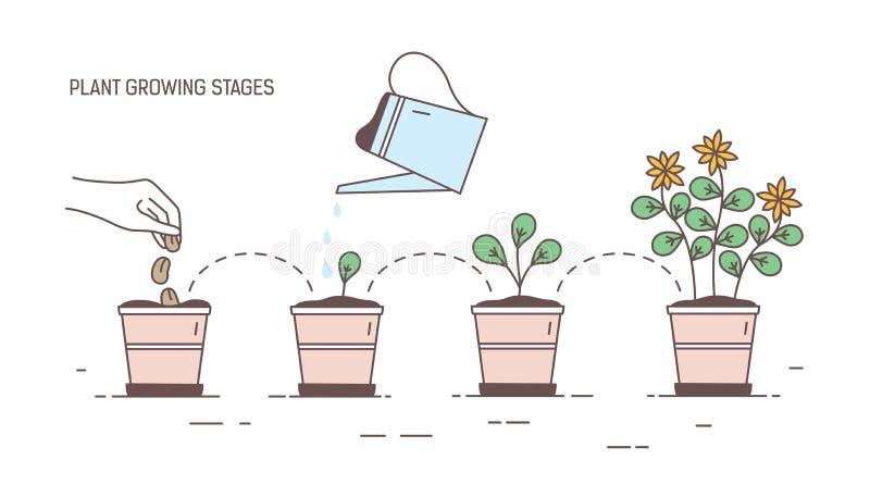 Etapas cada vez mayor de la planta en conserva - sembrando, brote, riego de almácigos, floreciendo Visualización del ciclo de vid libre illustration