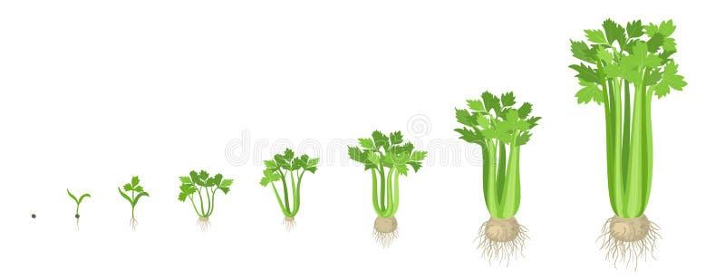 Etapas de la cosecha del apio Planta creciente del apio Verdura del crecimiento de la cosecha Graveolens del Apium Ejemplo plano  stock de ilustración