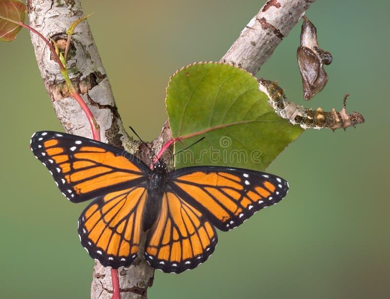 Etapas De La Mariposa Imagenes de archivo