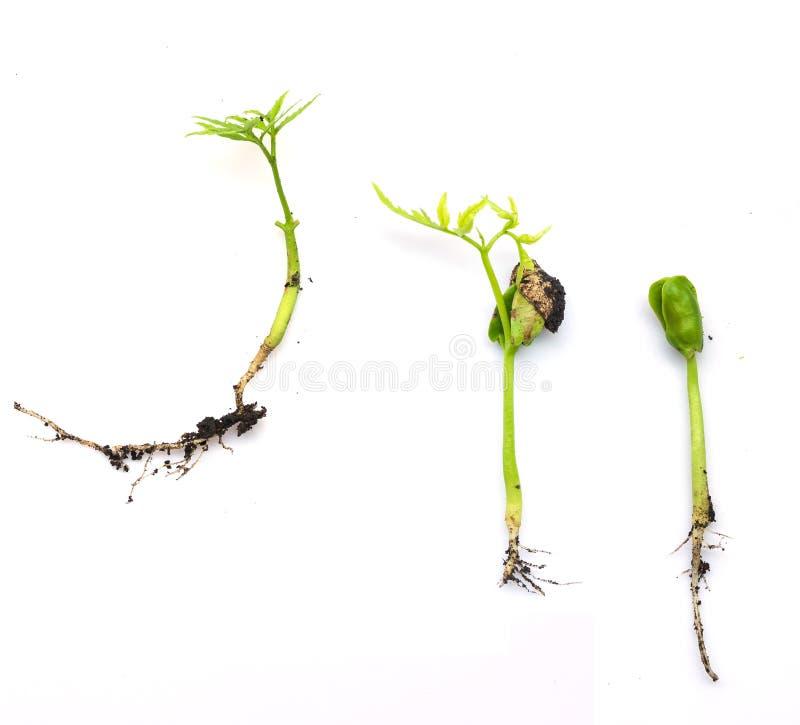 Etapas de las fases del crecimiento vegetal en blanco fotografía de archivo
