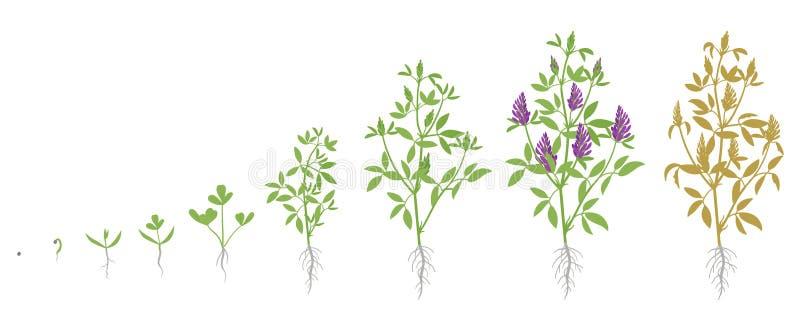 Etapas del crecimiento de la planta de la alfalfa Ejemplo plano del vector Medicago sativa Ciclo de vida crecido Alfalfa stock de ilustración
