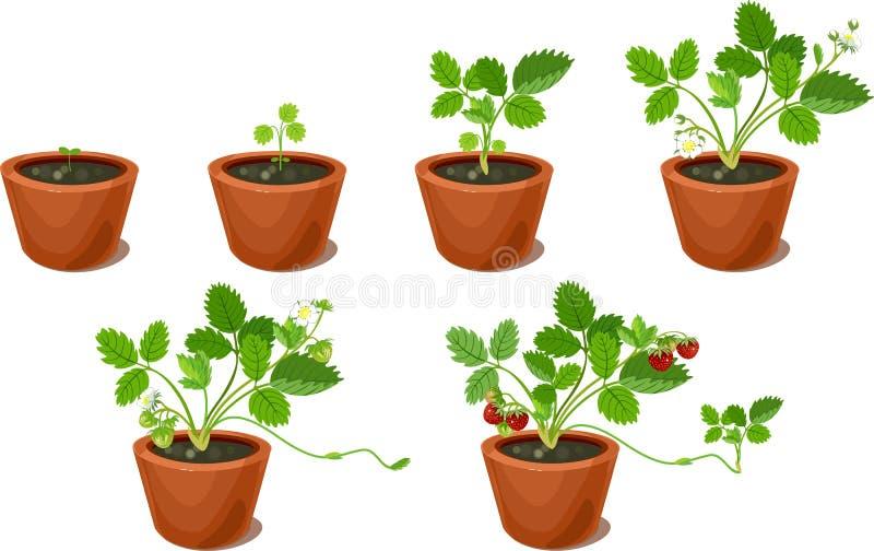 Etapas Del Crecimiento De La Planta De Fresa Ilustración del Vector ...