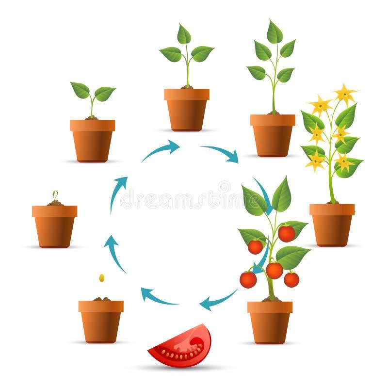 Etapas del crecimiento vegetal de tomate stock de ilustración
