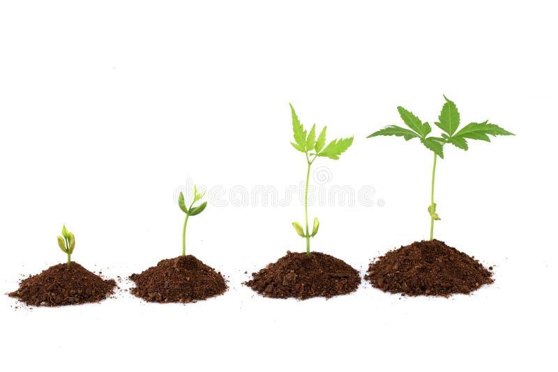 Etapas del crecimiento vegetal - progreso de la planta imagenes de archivo