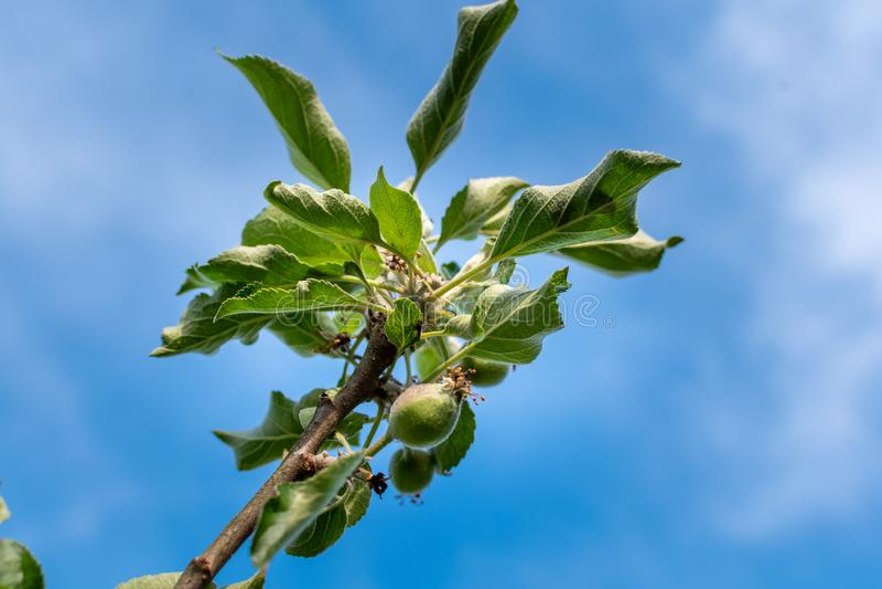 Etapas del desarrollo de Apple Manzana inmadura en un manzano imagenes de archivo