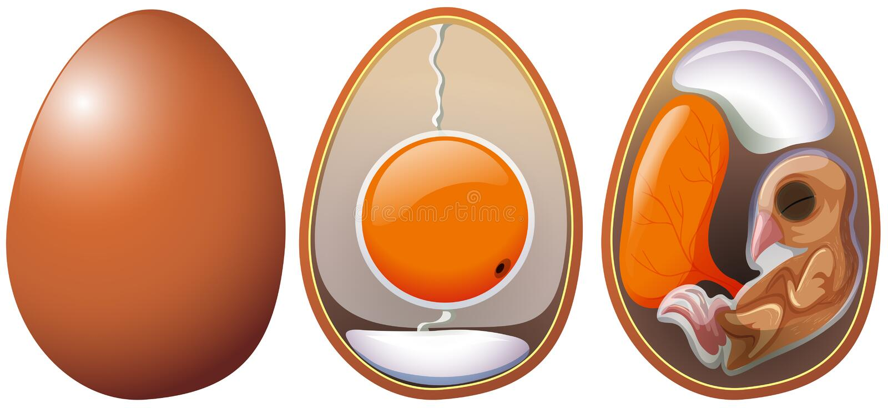 Etapas del desarrollo del huevo stock de ilustración