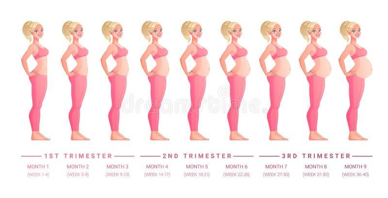 Etapas del embarazo mes a mes Ilustración aislada del vector ilustración del vector