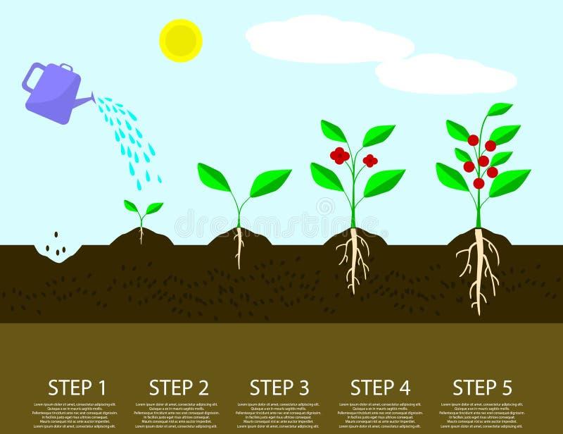 Etapas diferentes de plantas crescentes Plantando o processo da árvore infographic ilustração royalty free