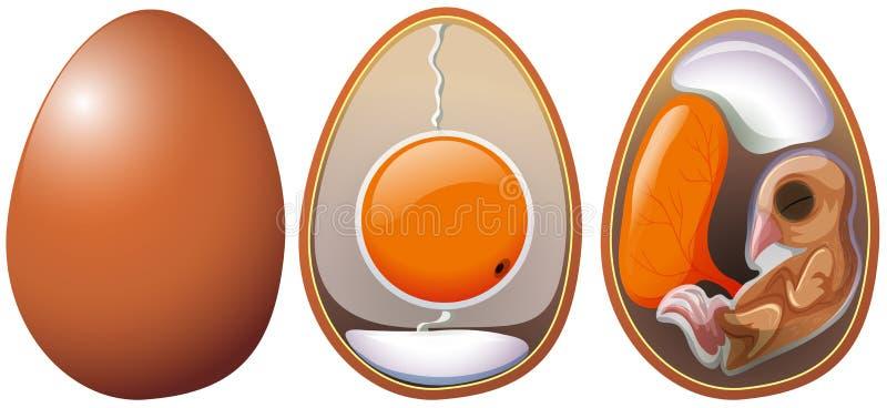 Etapper av äggutveckling stock illustrationer
