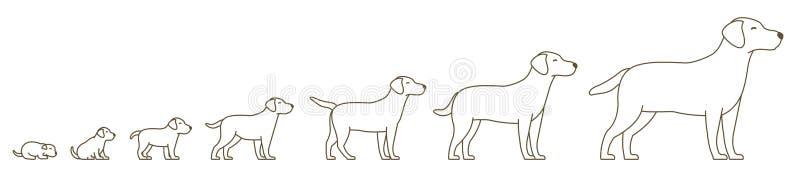 Etapper av hundtillväxtuppsättningen Från valp till den vuxna hunden djura husdjur Labradoren växer upp animeringfortgång Husdjur vektor illustrationer