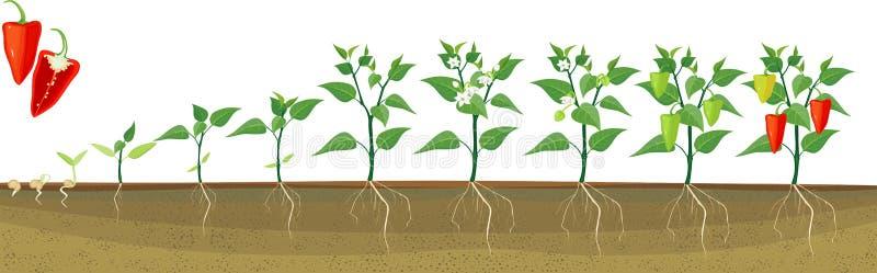 Etapper av peppartillväxt från kärnar ur och spirar för att skörda stock illustrationer