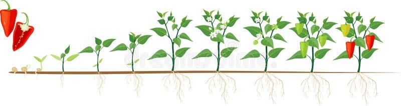 Etapper av peppartillväxt från kärnar ur och spirar för att skörda royaltyfri illustrationer