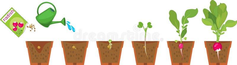 Etapper av rädisatillväxt från kärnar ur och spirar för att skörda i kruka stock illustrationer