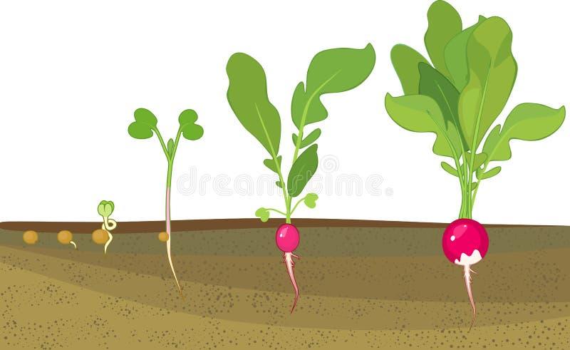 Etapper av rädisatillväxt från kärnar ur och spirar för att skörda växter som uppvisning rotar strukturen den underjordiska nivån royaltyfri illustrationer