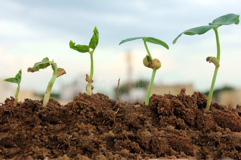 etapper för utvecklingstillväxtväxt royaltyfri bild