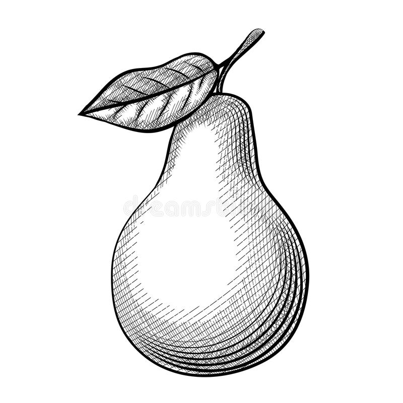 Etching pear. Wonderful sketch pears with leaves on a white background. Vector illustration vector illustration